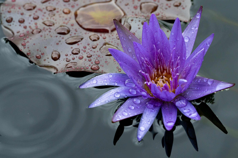 水面に出来る雨の波紋と睡蓮