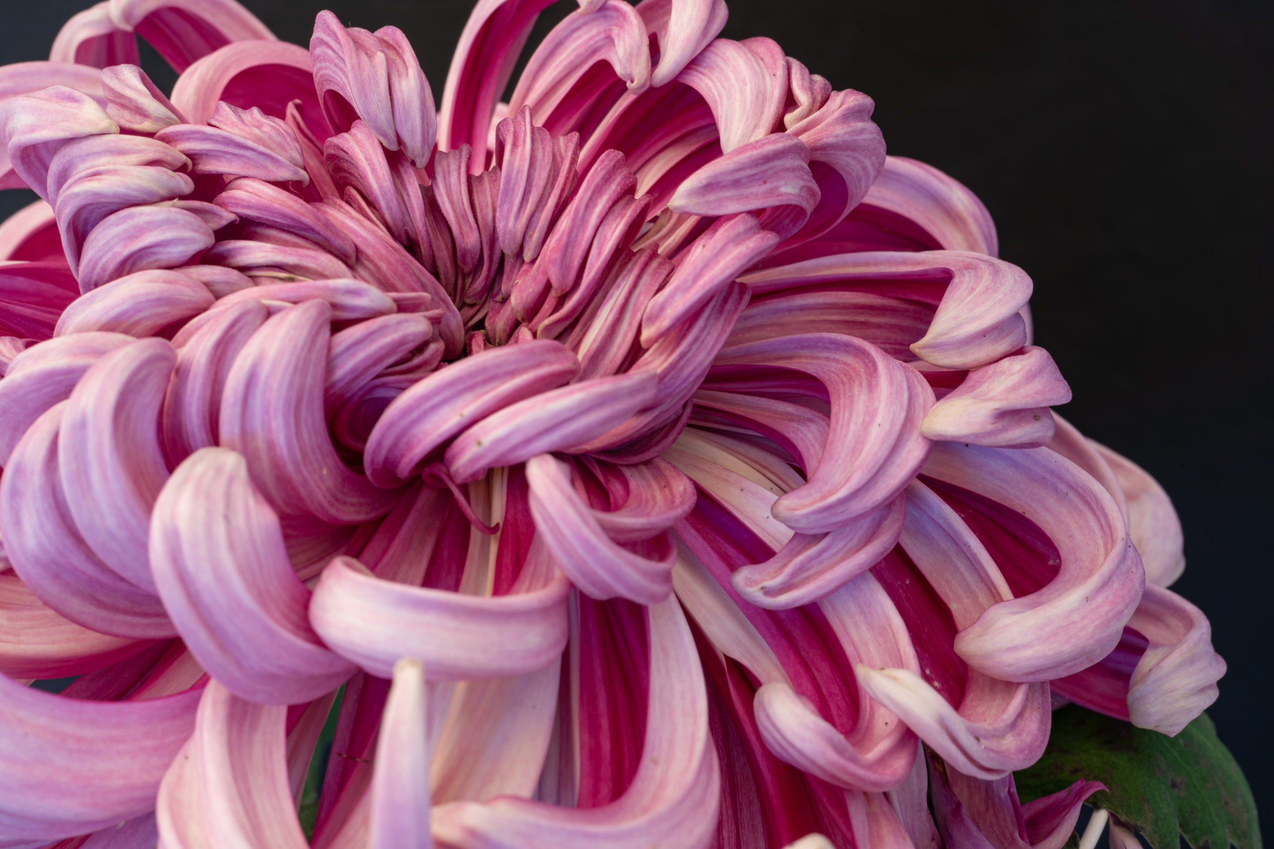 薄いピンクの菊の花