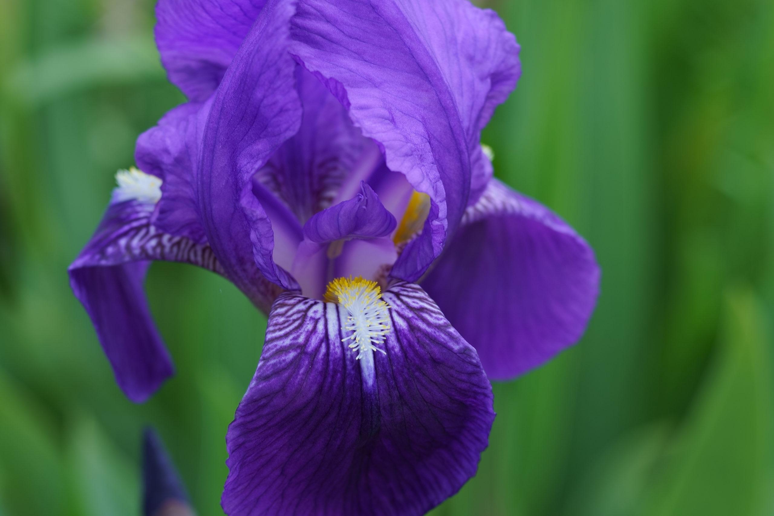アヤメ Siberian iris