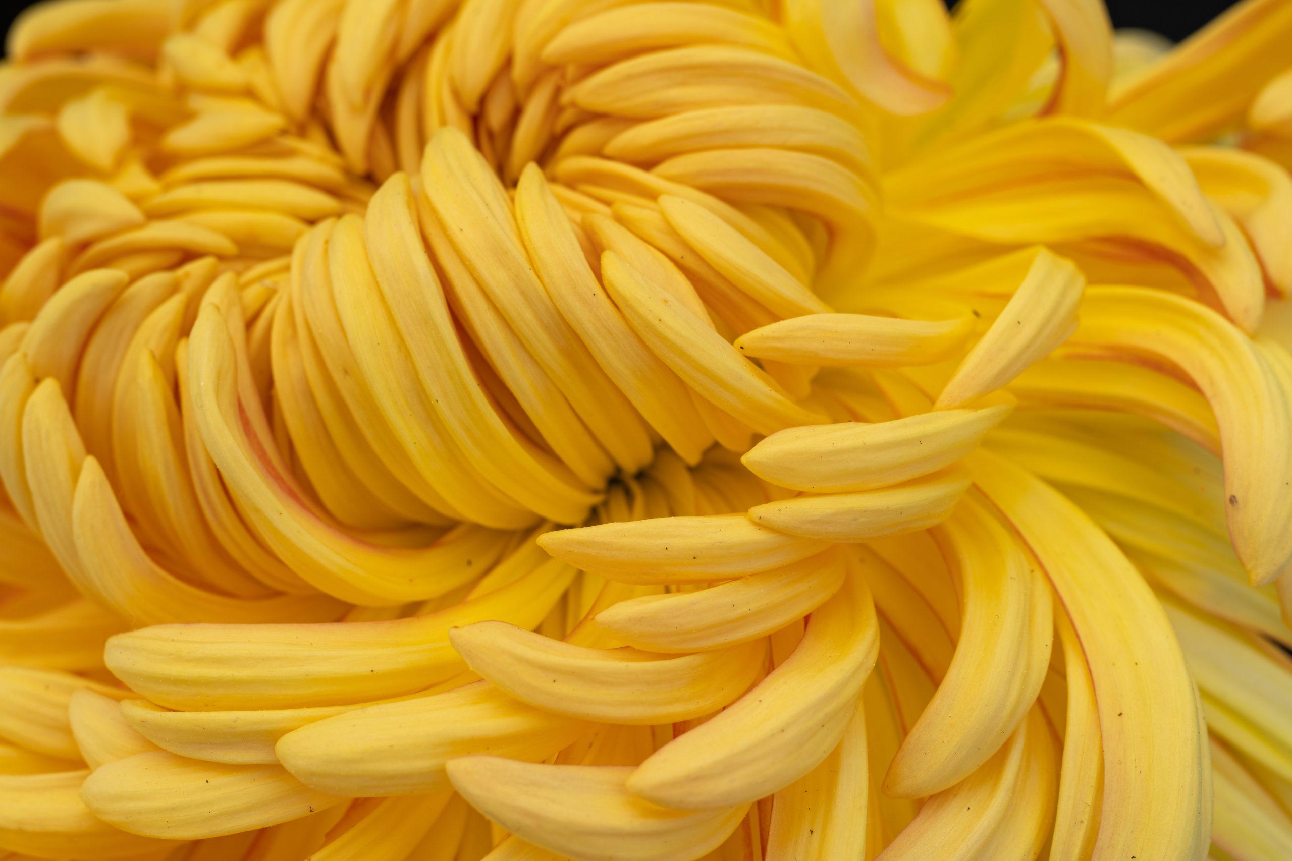 Florists' daisy yellow