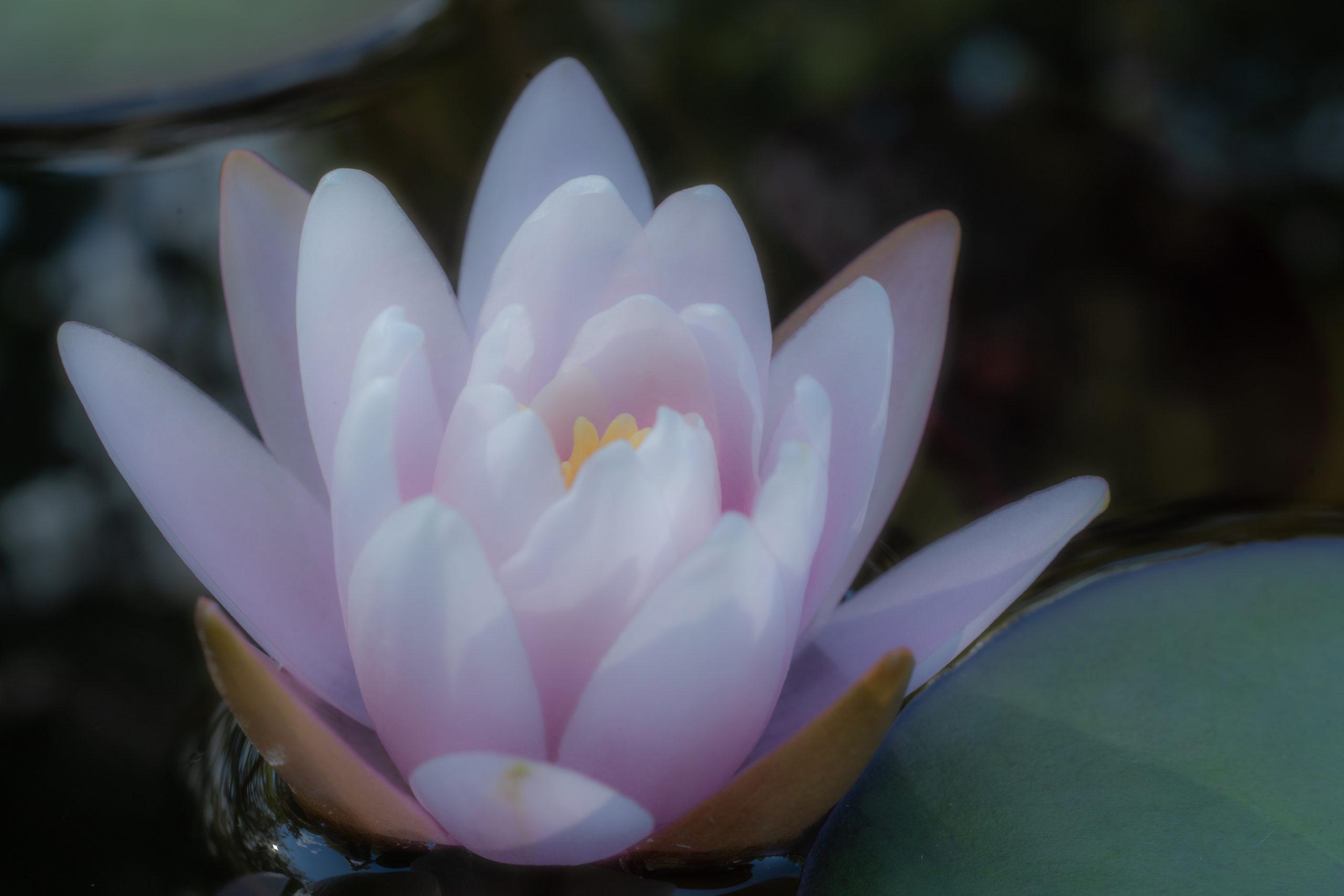 睡蓮(ファビオラ)